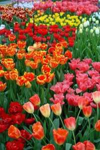 tulips (c) freeimages.co.uk